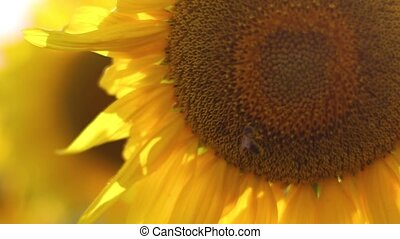 Sunflower field during sunset - Little bee pollinates a...