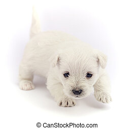Little bichon puppy