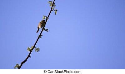 little bird is sitting on a branch then flies away , wild...
