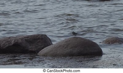 little bird on stones in the gulf of finland.