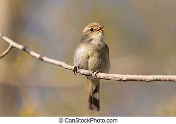 little bird sings sitting on a branch