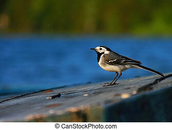 Little bird sits on a wooden boat upside against the background of lake and forest
