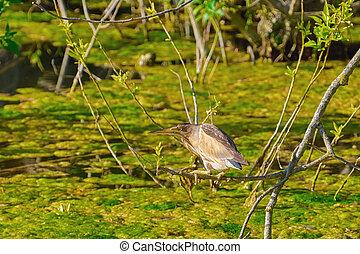 Little Bittern (Ixobrychus Minutus) in the Marsh