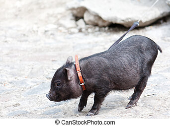 Little black piggy with harness
