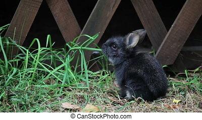Little Black Rabbit eats grass