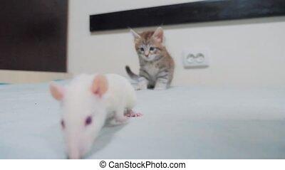 little black striped kitten playing hunts a lifestyle rat...