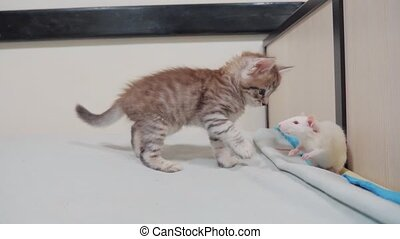 little black striped kitten playing hunts a rat. funny rare...