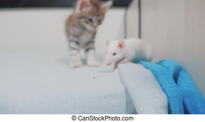 little black striped kitten playing hunts a rat mouse. funny...