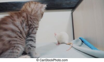 little black striped kitten playing hunts a rat mouse....