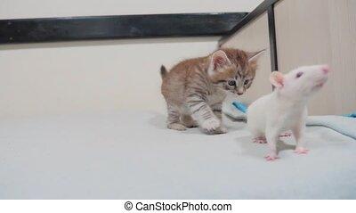 little black striped lifestyle kitten playing hunts a rat...