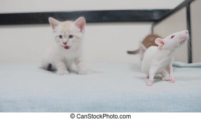 little black striped two kittens playing hunts a rat mouse....