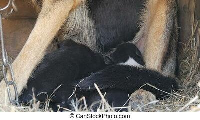 Little blind newborn puppy in hands of a man. Near runs mom of puppy close up