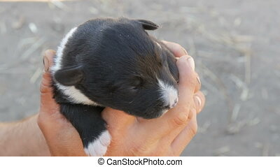 Little blind newborn puppy in hands of a man. Near runs mom...