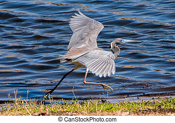 Little blue heron at the edge of a lake.
