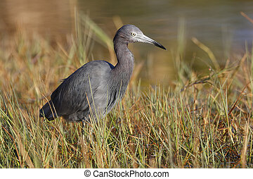 Little Blue Heron at the edge of a marsh - Port Charlotte. Florida