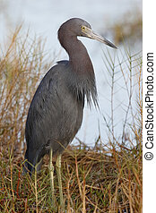 Little Blue Heron at the edge of a Florida marsh