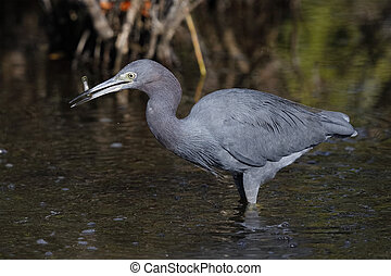 Little Blue Heron catching a fish - Merritt Island, Florida