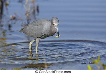 Little Blue Heron catching a fish - Merritt Island Wildlife Refuge, Florida