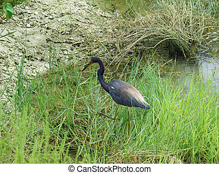 Little Blue Heron Ding Darling Wildlife Refuge Sanibel ...