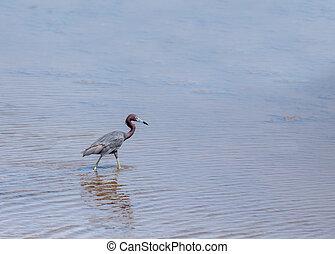 Little Blue Heron - Egretta caerulea - A little Blue Heron...