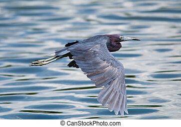 Little Blue Heron (Egretta caerulea) in flight against blue ...