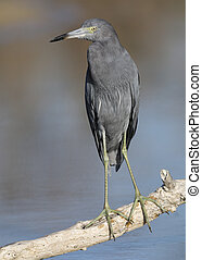 Little Blue Heron perched on a branch - Estero Island, Florida
