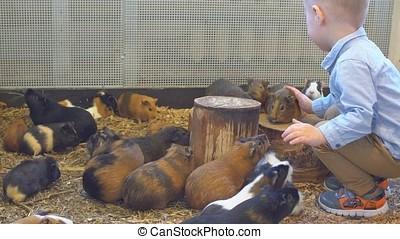Little Boy Feeding Guinea Pigs in The Petting Zoo