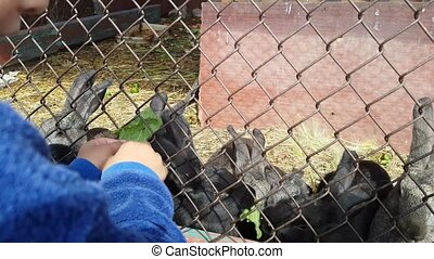 Little boy feeds cute grey and black rabbits in cage green...