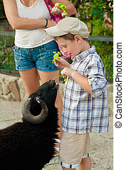 Little boy feeds the sheep to the zoo