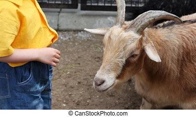 little boy in stand near white goat at village - little boy...