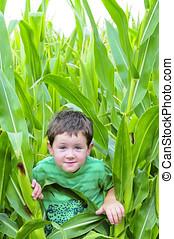 Little boy in the cornfield - Small boy hiding in a field of...