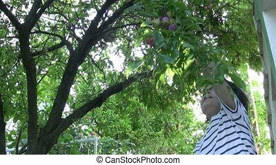 Little Boy picking plum