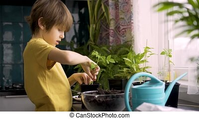 Little boy planting seedlings at home. An independent child is busy with a hobby, replanting plants, sprinkling flowers. Lifetime concept.