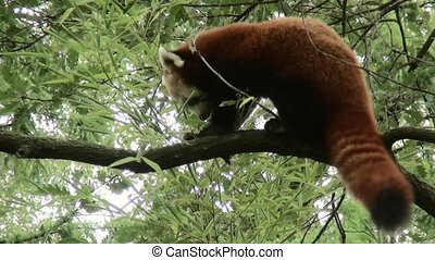 Little braun Panda eating bamboe in the tree.  (Ailurus fulgens)