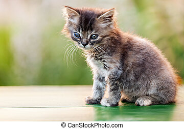 Little british domestic cat animal walking outdoor