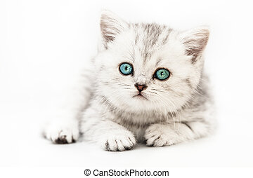Little british domestic silver tabby cat