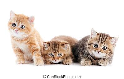 little british shorthair kittens cat - Three sitting (lying...