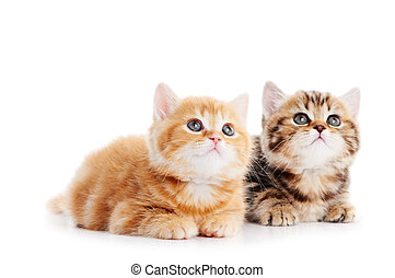 Two lying british shorthair kittens cat isolated