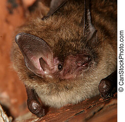 Little Brown Bat in the rafters of an old building
