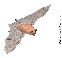 Little Brown Bat Myotis lucifugus Pencil Drawing