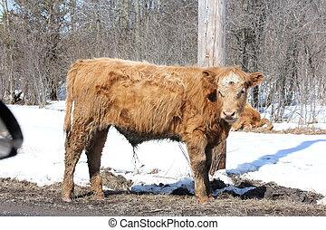 Little brown bull