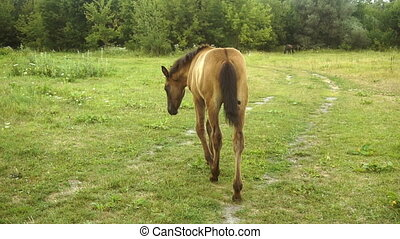 Little Brown foal is walking on the grass in the street