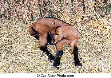 Little brown goatling