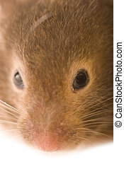 Little brown hamster close-up