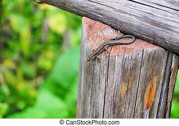 Little brown lizard on wooden posts