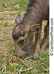 little buffalo in farm of thailand