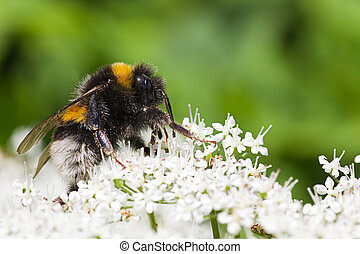 Little Bumble bee busy gathering nectar in summer