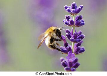 little bumblebee on lavender