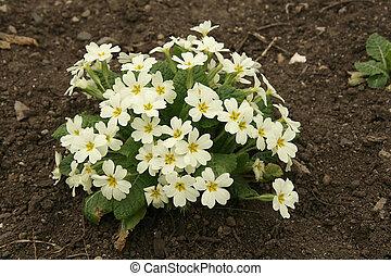 Little bush of primrose