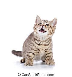 Little cat kitten, on white background , isolated